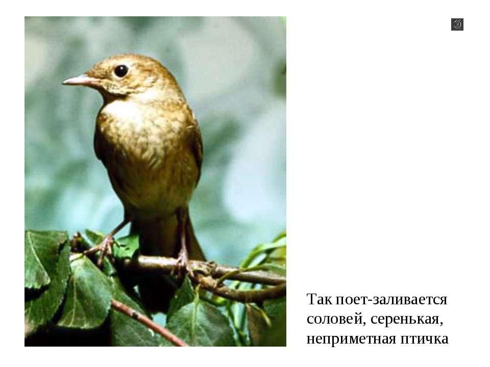 Так поет-заливается соловей, серенькая, неприметная птичка