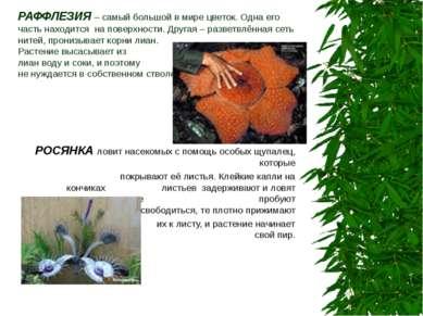 РАФФЛЕЗИЯ – самый большой в мире цветок. Одна его часть находится на поверхно...