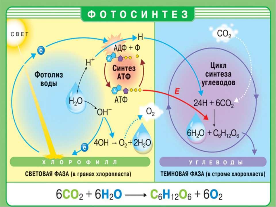 Фотосинтез таблица и рисунки