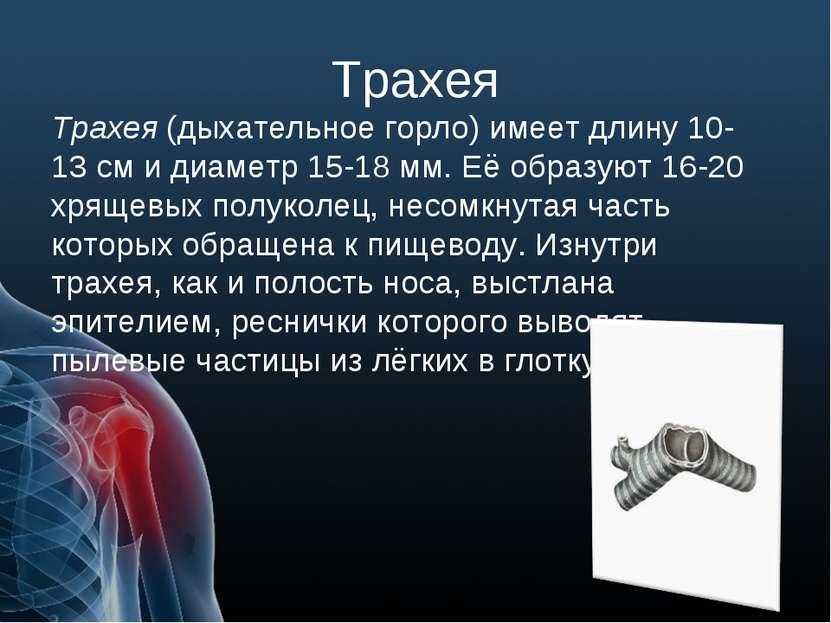 Трахея Трахея (дыхательное горло) имеет длину 10-13 см и диаметр 15-18 мм. Её...