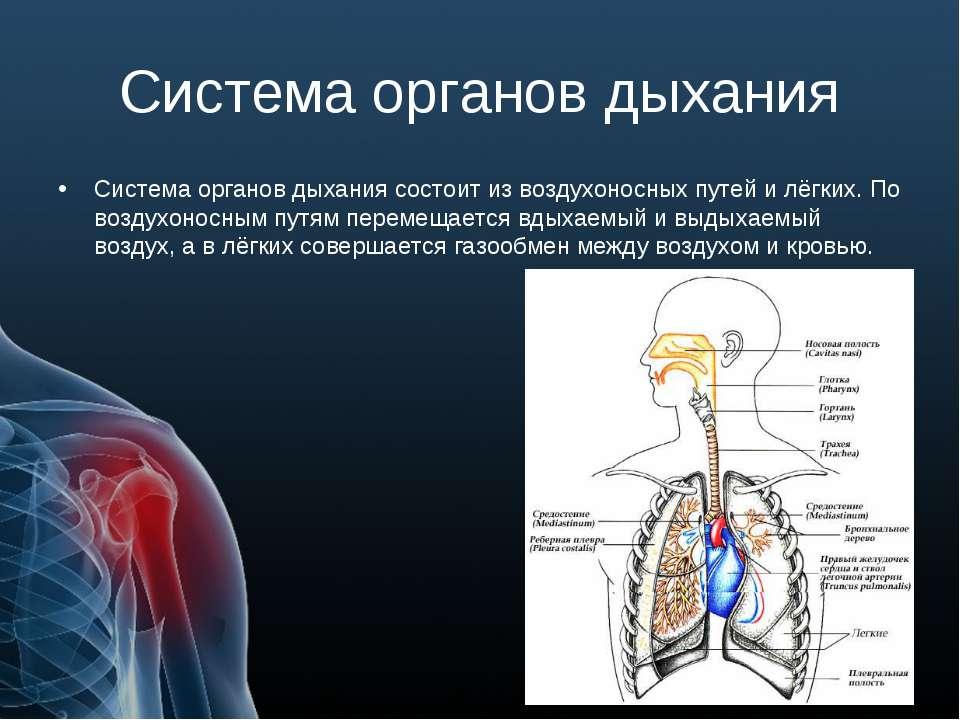 Система органов дыхания Система органов дыхания состоит из воздухоносных путе...