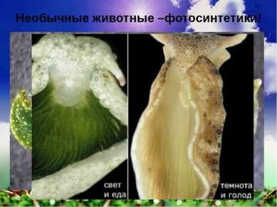 Необычные животные –фотосинтетики!