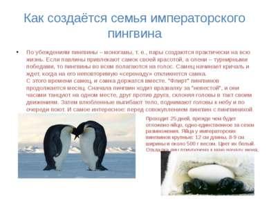 Как создаётся семья императорского пингвина По убеждениям пингвины – моногамы...
