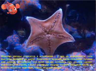 Морские звезды относятся к иглокожим – у них на поверхности тела выступы похо...