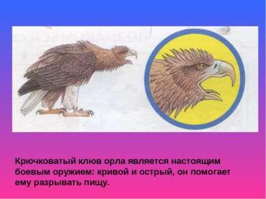 Крючковатый клюв орла является настоящим боевым оружием: кривой и острый, он ...
