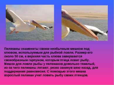 Пеликаны знамениты своим необычным мешком под клювом, используемым для рыбной...