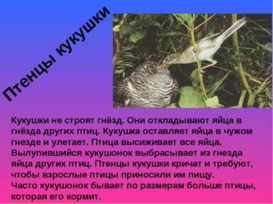 Птенцы кукушки Кукушки не строят гнёзд. Они откладывают яйца в гнёзда других ...