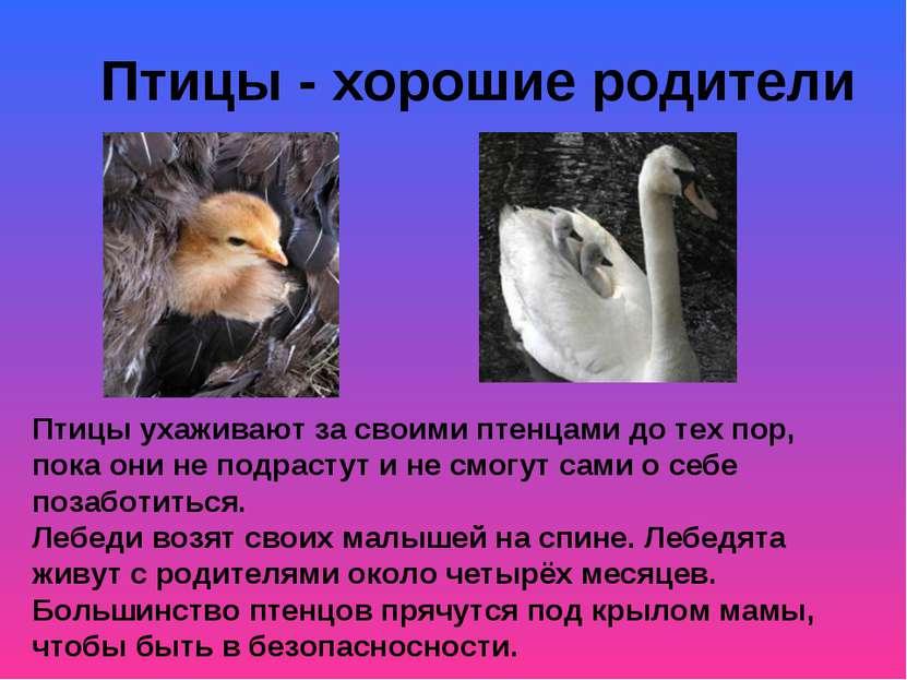 Птицы - хорошие родители Птицы ухаживают за своими птенцами до тех пор, пока ...