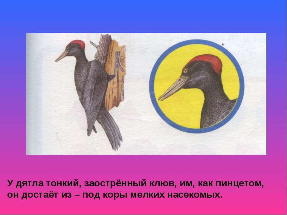 У дятла тонкий, заострённый клюв, им, как пинцетом, он достаёт из – под коры ...