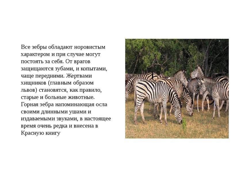 Все зебры обладают норовистым характером и при случае могут постоять за себя....