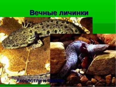 Вечные личинки Аксолотли и протеи