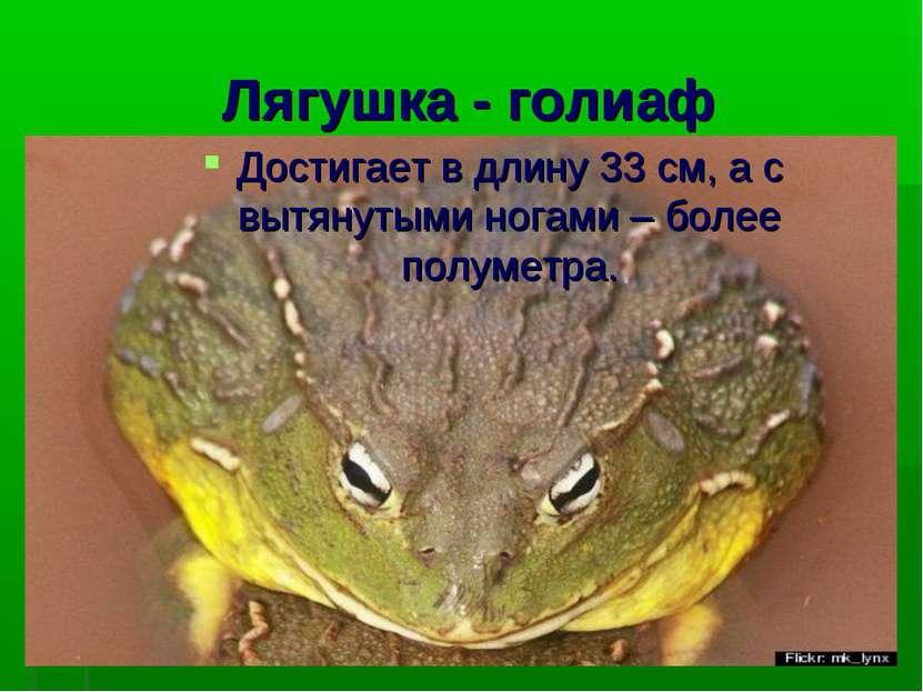 Лягушка - голиаф Достигает в длину 33 см, а с вытянутыми ногами – более полум...