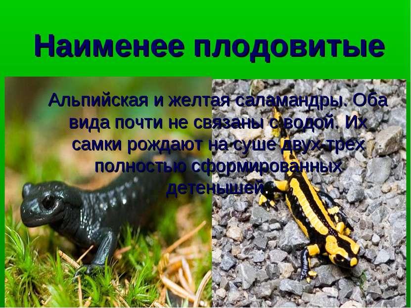 Наименее плодовитые Альпийская и желтая саламандры. Оба вида почти не связаны...