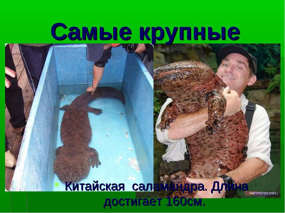 Самые крупные Китайская саламандра. Длина достигает 160см.