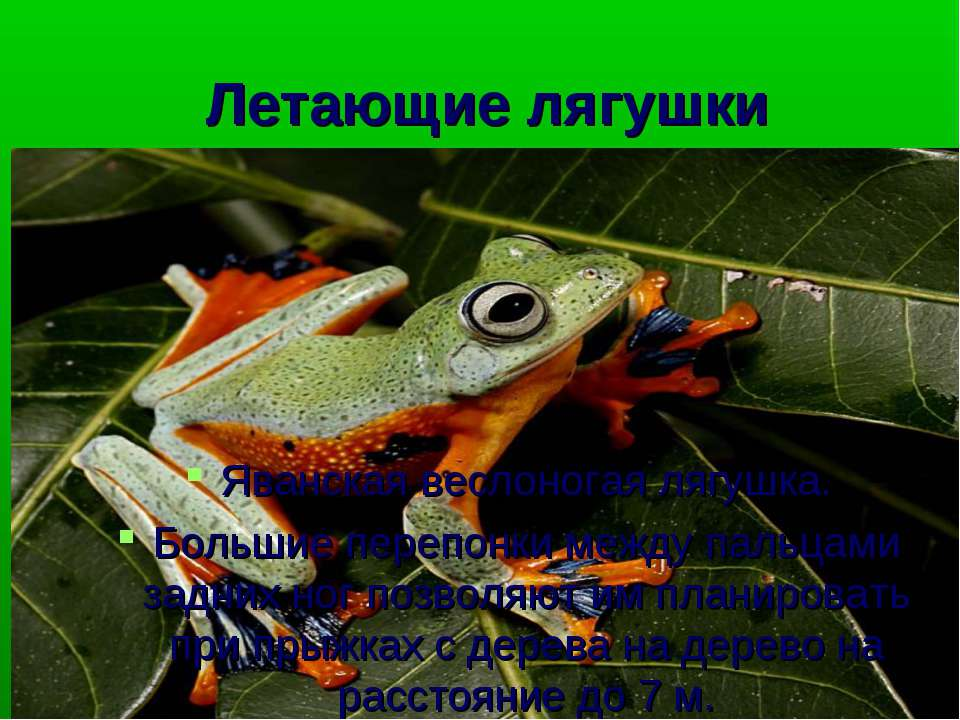 Летающие лягушки Яванская веслоногая лягушка. Большие перепонки между пальцам...