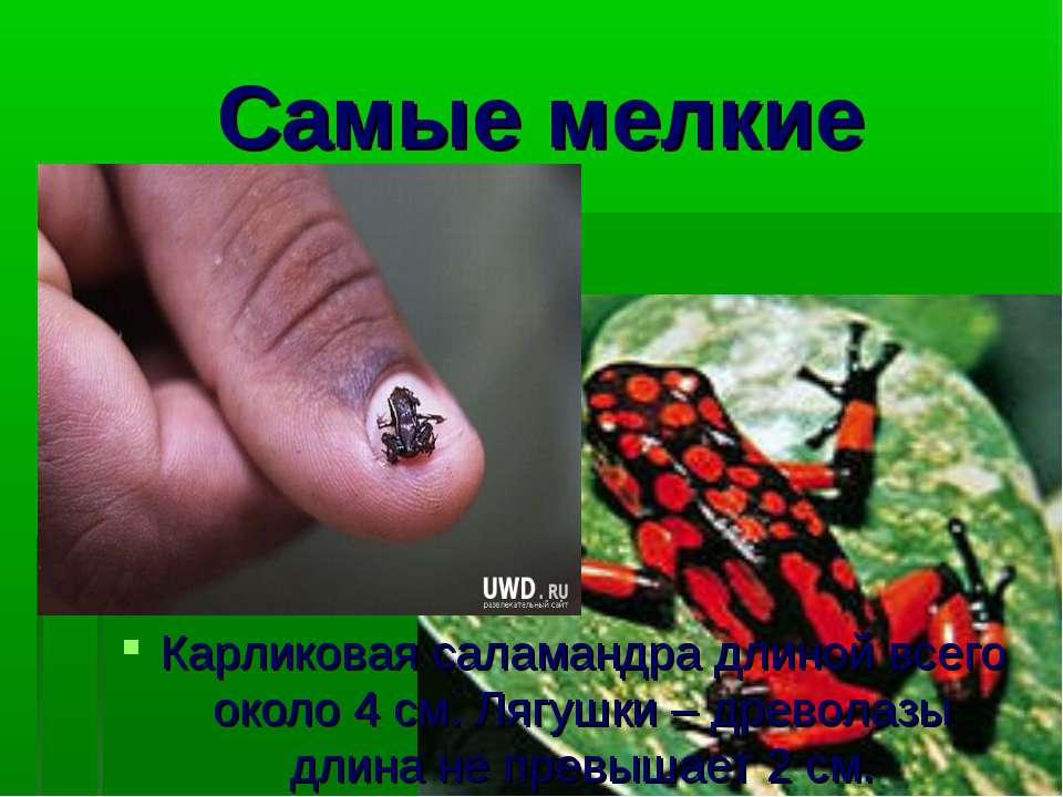 Самые мелкие Карликовая саламандра длиной всего около 4 см. Лягушки – древола...