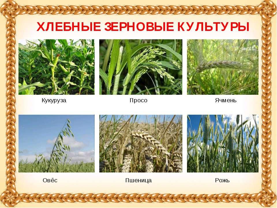 Ячмень ХЛЕБНЫЕ ЗЕРНОВЫЕ КУЛЬТУРЫ Кукуруза Овёс Просо Пшеница Рожь