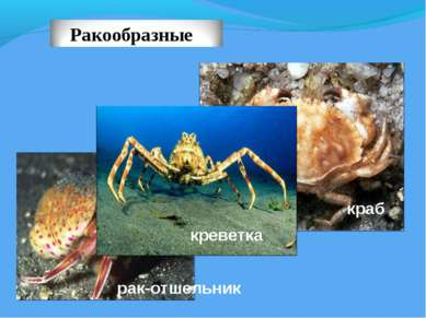 краб рак-отшельник креветка