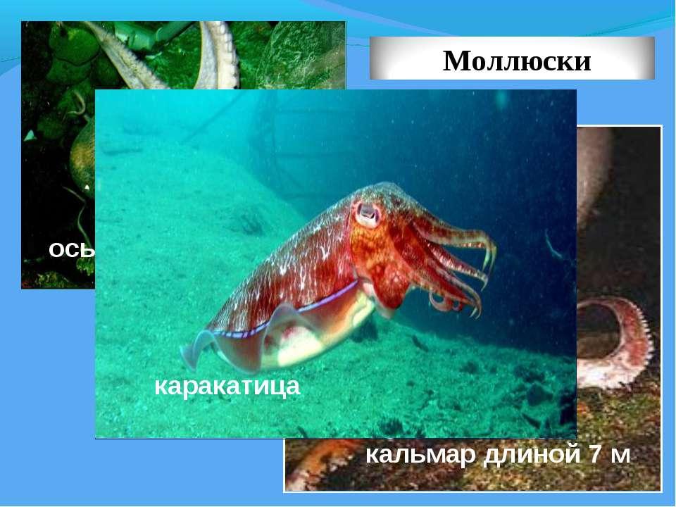 кальмар длиной 7 м осьминог каракатица