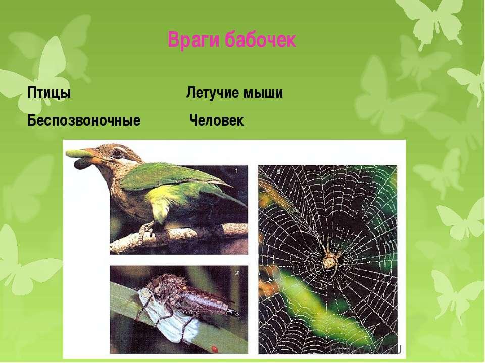 Враги бабочек Птицы Летучие мыши Беспозвоночные Человек