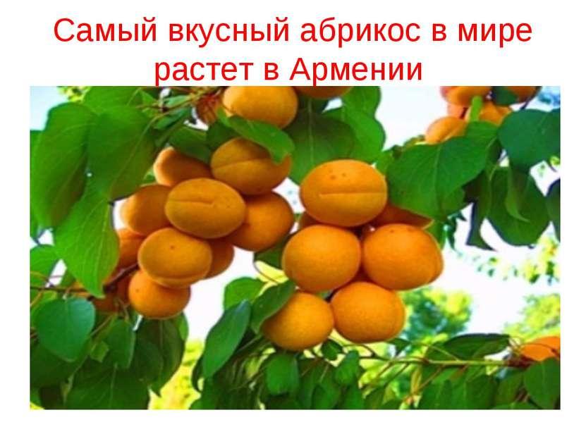 Самый вкусный абрикос в мире растет в Армении