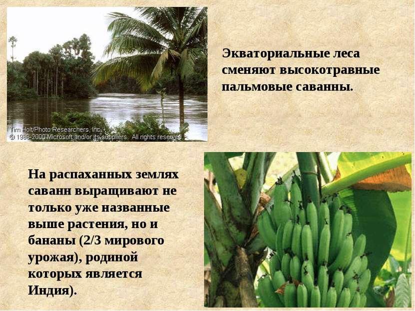 Экваториальные леса сменяют высокотравные пальмовые саванны. На распаханных з...