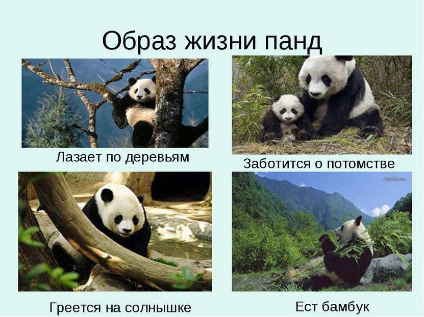 Образ жизни панд Лазает по деревьям Заботится о потомстве Ест бамбук Греется ...