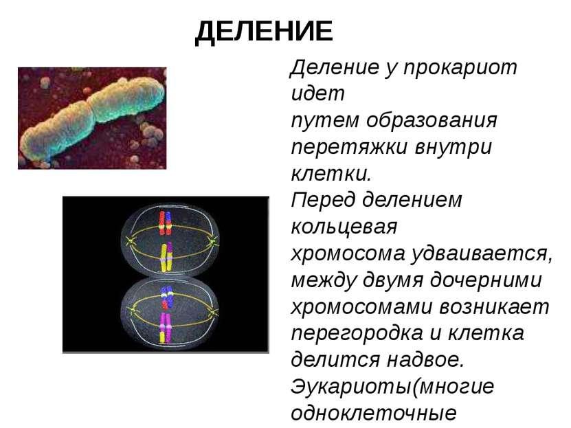 ДЕЛЕНИЕ Деление у прокариот идет путем образования перетяжки внутри клетки. П...