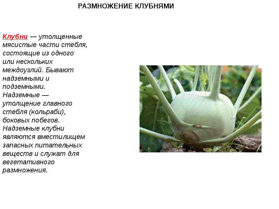 РАЗМНОЖЕНИЕ КЛУБНЯМИ Клубни — утолщенные мясистые части стебля, состоящие из ...