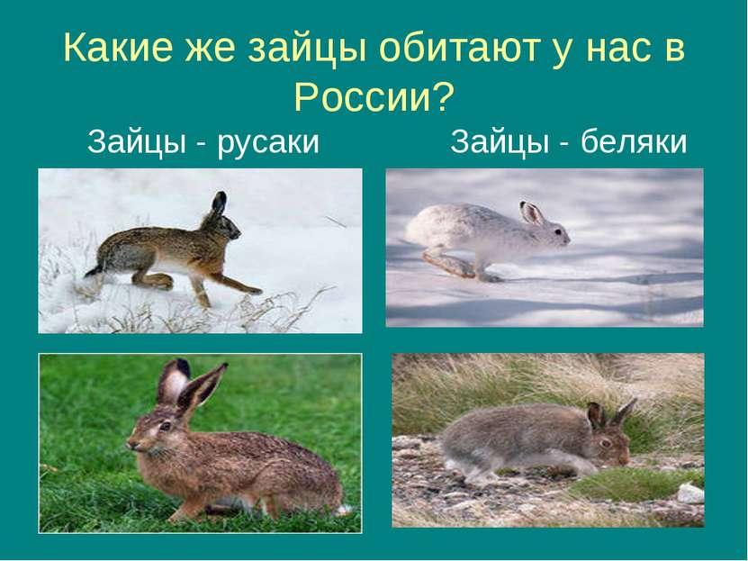 Какие же зайцы обитают у нас в России? Зайцы - русаки Зайцы - беляки