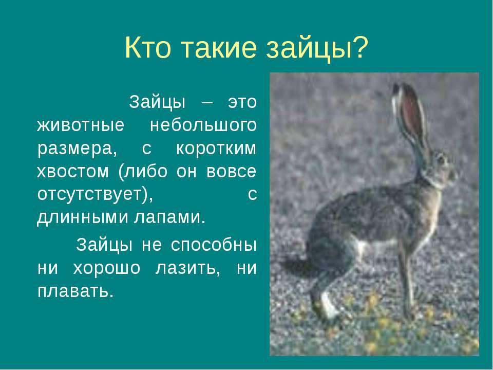 Кто такие зайцы? Зайцы – это животные небольшого размера, с коротким хвостом ...