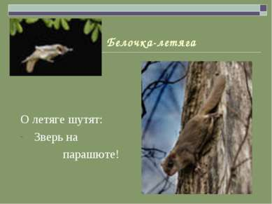 Белочка-летяга О летяге шутят: Зверь на парашюте!