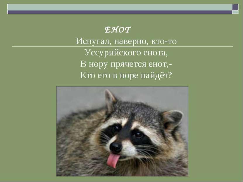 ЕНОТ Испугал, наверно, кто-то Уссурийского енота, В нору прячется енот,- Кто ...