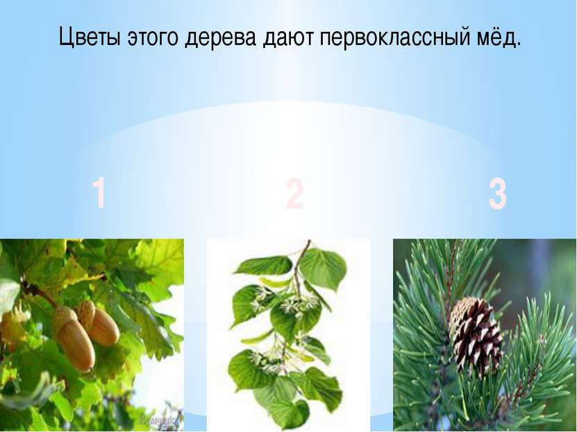 Цветы этого дерева дают первоклассный мёд. 1 2 3