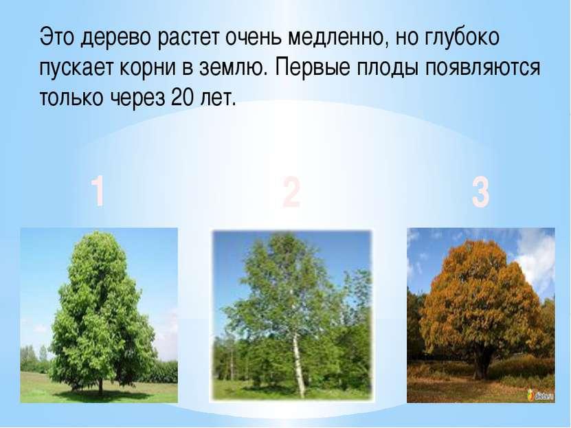 Это дерево растет очень медленно, но глубоко пускает корни в землю. Первые пл...