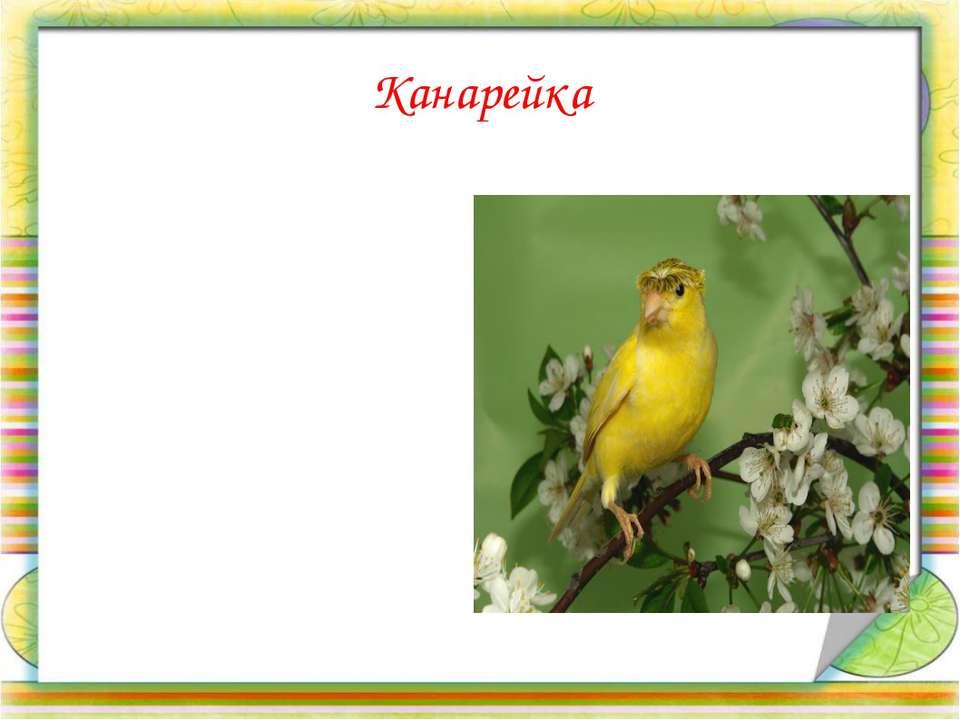 Канарейка  Небольшая птица. Имеет зеленую, желтую окраску. Хорошо поет. Може...