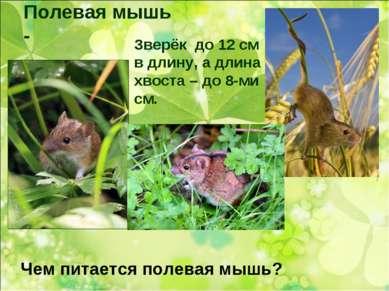 Полевая мышь - Зверёк до 12 см в длину, а длина хвоста – до 8-ми см. Чем пита...