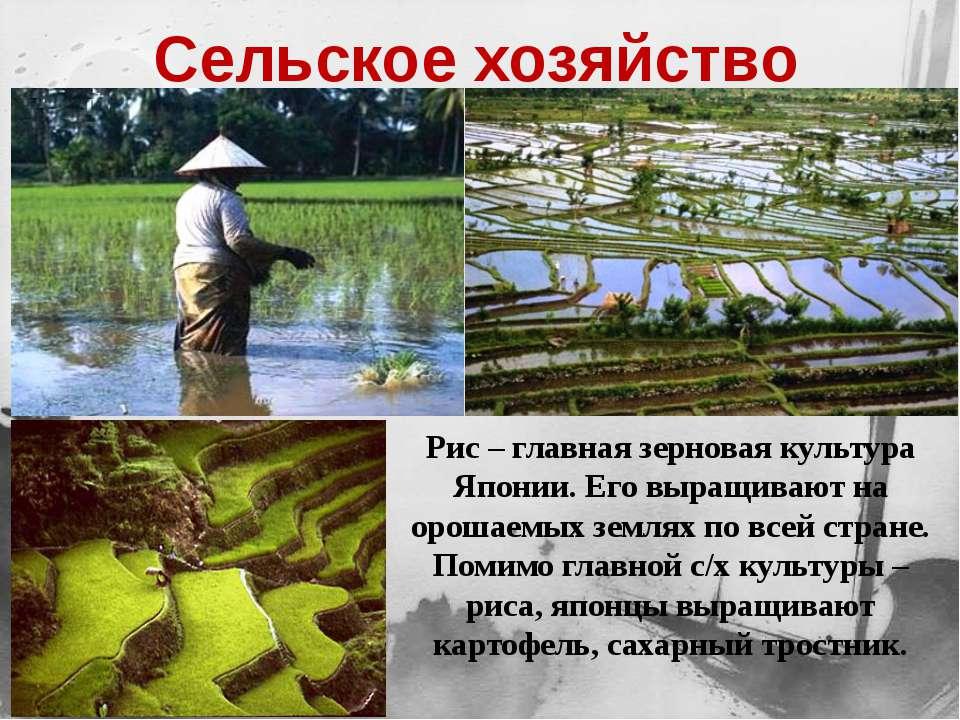 Рис – главная зерновая культура Японии. Его выращивают на орошаемых землях по...