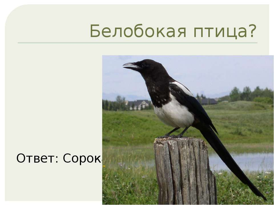 Белобокая птица? Ответ: Сорока