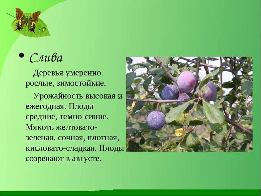 Слива Деревья умеренно рослые, зимостойкие. Урожайность высокая и ежегодная. ...