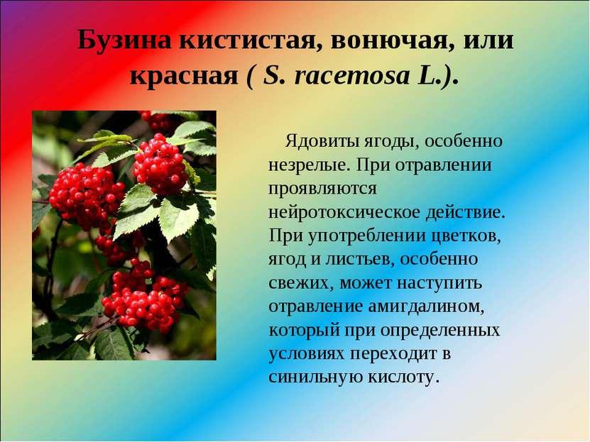Бузина кистистая, вонючая, или красная( S. racemosa L.). Ядовиты ягоды, особ...
