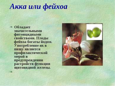 Акка или фейхоа Обладает значительными фитонцидными свойствами. Плоды фейхоа ...