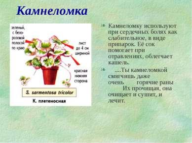 Камнеломка Камнеломку используют при сердечных болях как слабительное, в виде...
