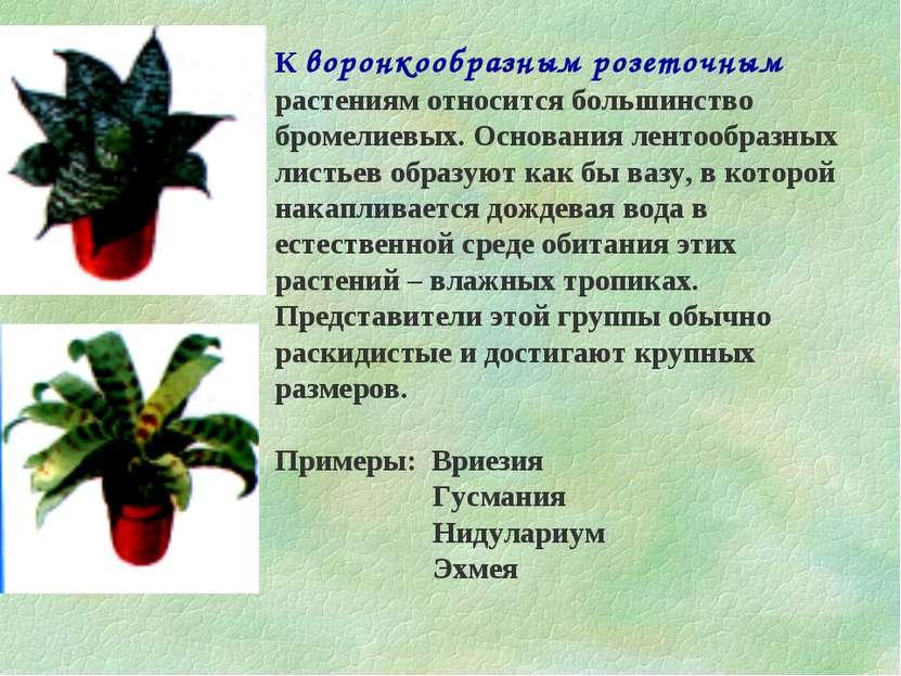 К воронкообразным розеточным растениям относится большинство бромелиевых. Осн...