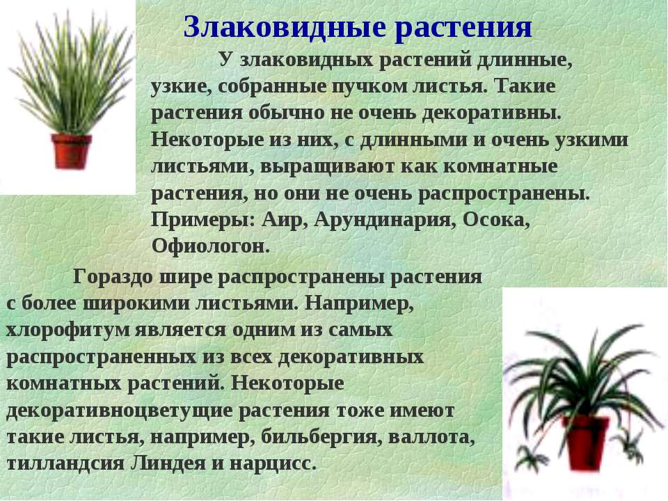 Злаковидные растения У злаковидных растений длинные, узкие, собранные пучком ...