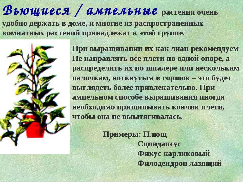 Вьющиеся / ампельные растения очень удобно держать в доме, и многие из распро...