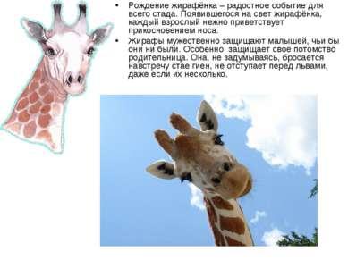 Рождение жирафёнка – радостное событие для всего стада. Появившегося на свет ...