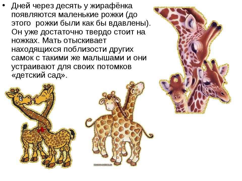 Дней через десять у жирафёнка появляются маленькие рожки (до этого рожки был...