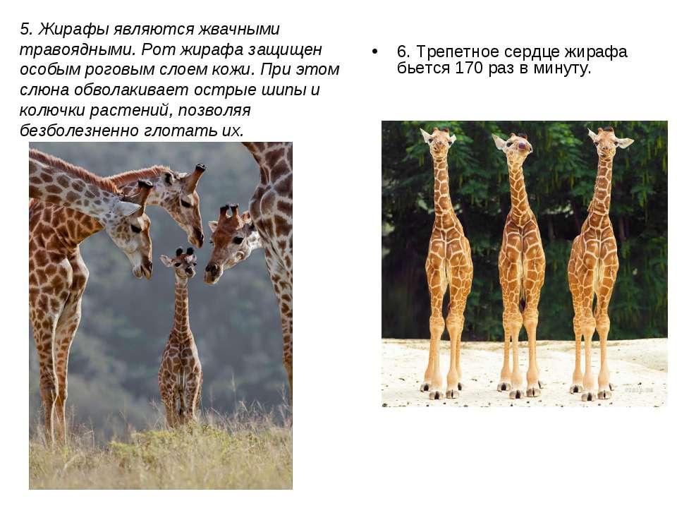 6. Трепетное сердце жирафа бьется 170 раз в минуту. 5. Жирафы являются жвачны...
