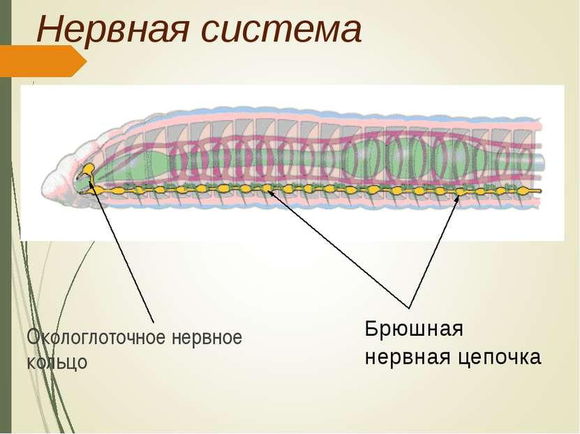 презентация черви паразиты человека